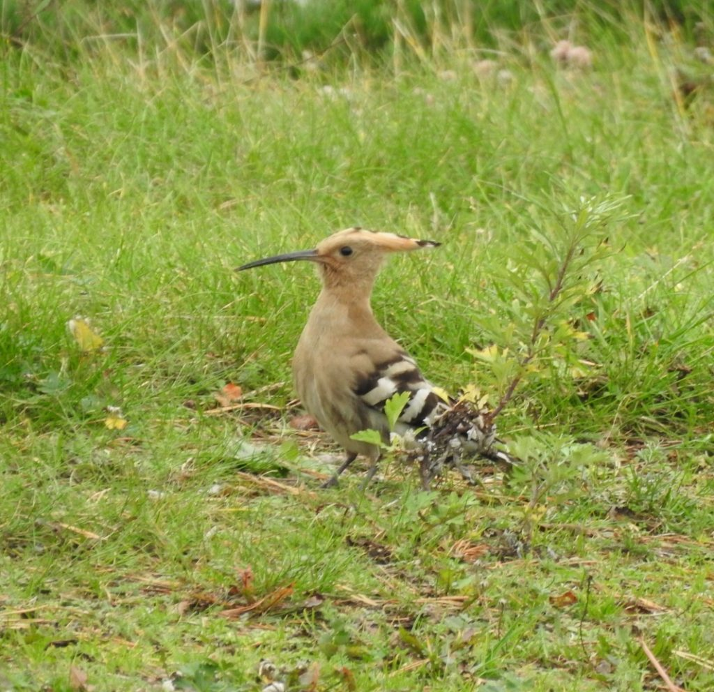 Nyfiken härfågel